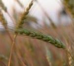 wheat-seed1-200x133