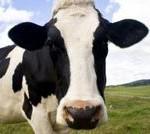cow-thumb-200x134-31102