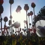 poppy_field-thumb-200x150-37043